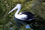An Australian Pelican at a Zoo Photographic Print by Jill Schneider