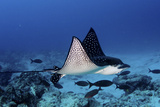 A Spotted Eagle Ray, Aetobatus Narinari, Swimming Over a Reef Photographic Print by Jim Abernethy