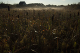 Cattails Growing in a Dusty Field, Nantucket Photographic Print by Matt Moyer