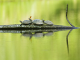 A Butterfly Alights on a Turtle Resting on a Tree Branch Photographic Print by Carrie Vonderhaar