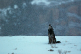 A Black Wolf, Canis Lupus, Howling in An Early Morning Snow Fall Fotografisk trykk av Barrett Hedges