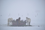 A Group of Horses Eating Hay in a Snowstorm Photographic Print by Raul Touzon
