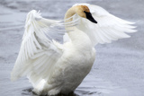 A Trumpeter Swan, Cygnus Buccinator, Flapping Its Wings Over the Water Photographic Print by Robbie George