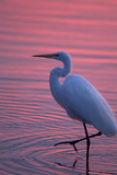 Portrait of a Great Egret, Ardea Alba, Walking the Shore at Sunset Stampa fotografica di Robbie George