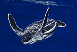 A Baby Leatherback Sea Turtle, Dermochelys Coriacea, in Blue Water Photographic Print by Jim Abernethy