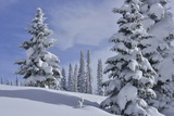 Snow Covered Evergreen Trees Near Steamboat Springs Photographic Print by Raul Touzon