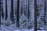 Snow Covered Trees in Yosemite National Park Fotografiskt tryck av Raul Touzon