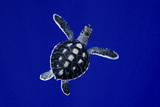 A Baby Green Sea Turtle, Chelonia Mydas, Swimming Photographic Print by Jim Abernethy