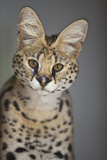 Portrait of a Female African Serval, Felis Leptailarus Serval Photographic Print by Karine Aigner