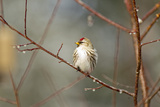 A Common Redpoll Perches on a Twig Ornamented with Dew Drops Photographic Print by Matthias Breiter