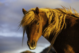 Portrait of An Icelandic Pony in Warm Sunlight Photographic Print by Jonathan Irish