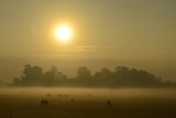A Backlit View of Grazing Cattle in Fog Fotografisk tryk af Raul Touzon