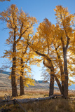 Backlit View of Cottonwood Trees with Autumn Foliage Photographic Print by Tom Murphy