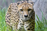 Portrait of a Female Cheetah, Acinonyx Jubatus Photographic Print by Karine Aigner