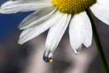 A Sparkle in a Drop of Water on a Daisy Petal Photographic Print by Robbie George