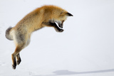 Red fox pounces for prey burrowed under the snow Yellowstone Park wild animal photo by Robbie George