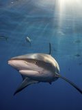 A Caribbean Reef Shark and Fish Swimming in Rays of Sunlight Photographic Print by Jim Abernethy