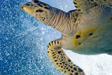 A Critically Endangered Hawksbill Turtle Photographic Print by Carrie Vonderhaar