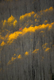 Aspen Trees in Autumn Mostly Stripped of Their Golden Leaves Photographic Print by Robbie George