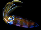 Close Up of a Caribbean Reef Squid, Sepioteuthis Sepioidea Photographic Print by Jim Abernethy