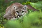 Portrait of a Male Cougar, Felis Concolor, Stalking Fotografisk tryk af Karine Aigner