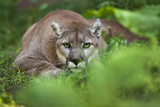 Portrait of a Male Cougar, Felis Concolor, Stalking Photographic Print by Karine Aigner