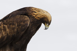 Close Up Portrait of a Golden Eagle, Aquila Chrysaetos, Hunting Photographic Print by Robbie George