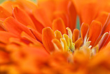 Extreme Close Up of An Orange Chrysanthemum Flower Photographic Print by Vickie Lewis