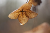 Close Up of a Dried Oak Leaf Hydrangea Flower in the Rain Photographic Print by Richard Olsenius