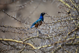 A Bird Perched in a Thicket of Thorny Branches Photographic Print by Aaron Huey