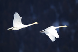 Two Trumpeter Swans, Cygnus Buccinator, in Flight Photographic Print by Robbie George