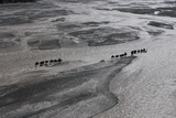 Dozens of Camels and Eight Drivers Haul Gear to Chinese Base Camp Photographic Print by Ralf Dujmovits