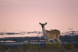 Portrait of a White-tailed Deer on the Gulf Coast at Sunrise Photographic Print by Robbie George