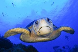Close Up Portrait of a Loggerhead Sea Turtle, Caretta Caretta Photographic Print by Jim Abernethy