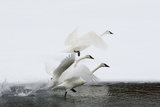 Trumpeter Swans Take Flight Photographic Print by Tom Murphy