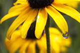 Black-eyed Susan Flowers Reflected in a Drop of Water Photographic Print by Robbie George