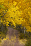 A Dirt Road Through a Grove of Aspen Trees with Golden Autumn Foliage Fotografie-Druck von Robbie George