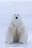 A Portrait of a Blood Stained Male Polar Bear Sitting on Sea Ice Photographic Print by Matthias Breiter