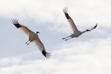Portrait of a Whooping Cranes, Grus Americana, in Flight Photographic Print by Robbie George