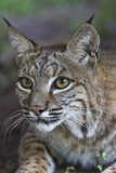 Portrait of a Bobcat, Lynx Rufus Photographic Print by Karine Aigner