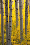 Sunlight on Golden Aspen Tree Branches Among Larger Tree Trunks Photographic Print by Robbie George