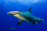 A Great Hammerhead Shark and a Caribbean Reef Shark in the Background Fotografie-Druck von Jim Abernethy