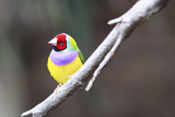 A Gouldian Finch Sits on a Tree Branch Photographic Print by Jill Schneider
