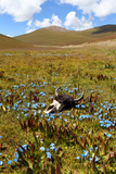 A Yak Skull Lies on the Highland Grasslands of the Tibetan Plateau Photographic Print by Sean Gallagher