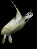 A Green Sea Turtle, Chelonia Mydas, Swimming at Night Photographic Print by Jim Abernethy