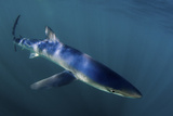 A Blue Shark, Prionace Glauca, Swimming in Sunlight Photographic Print by Jim Abernethy