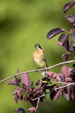 Portrait of a Cedar Waxwing, Bombycilla Cedrorum, Eating a Berry Photographic Print by Robbie George