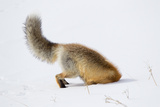 A Red Fox, Vulpes Vulpes, Head First in the Snow to Catch a Rodent Photographic Print by Robbie George