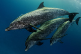 A Pod of Wild Atlantic Spotted Dolphins, Stenella Frontalis Photographic Print by Jim Abernethy