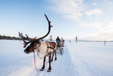 A Reindeer Puling a Sled in Swedish Lapland Fotografisk tryk af Lola Akinmade Akerstrom